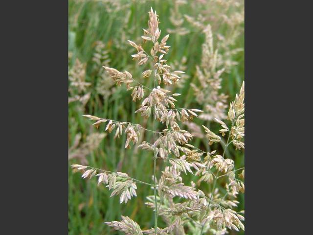 Holcus lanatus Yorkshire Fog Grass Images