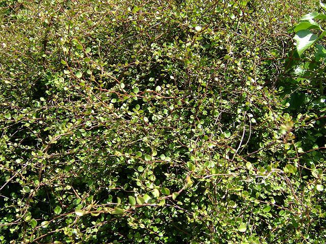 Muehlenbeckia complexa - Wire Plant, Wire or Maidenhair..