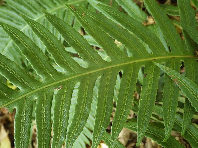 Woodwardia radicans European Chain Fern Images