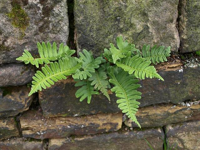 Polypodium vulgare Common Polypody Fern Images