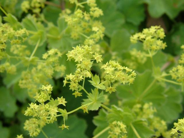 alchemilla mollis lady 39 s mantle rosaceae images. Black Bedroom Furniture Sets. Home Design Ideas
