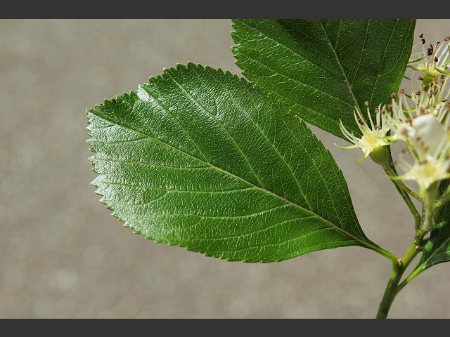 Image result for crataegus succulenta tree leaves