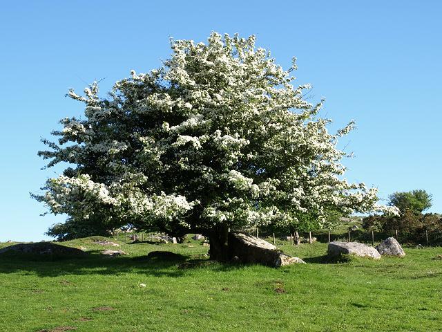 Hawthorn Tree Flowers Flowering Tree 4 Hawthorn