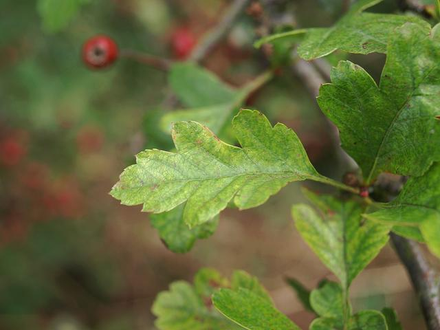 Crataegus monogyna - Hawthorn (Rosaceae Images)