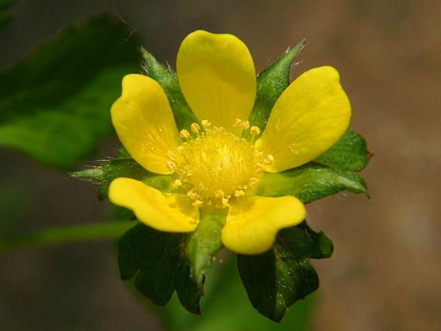 Duchesnea indica - Yellow-flowered Strawberry  Rosaceae Images Yellow Strawberry