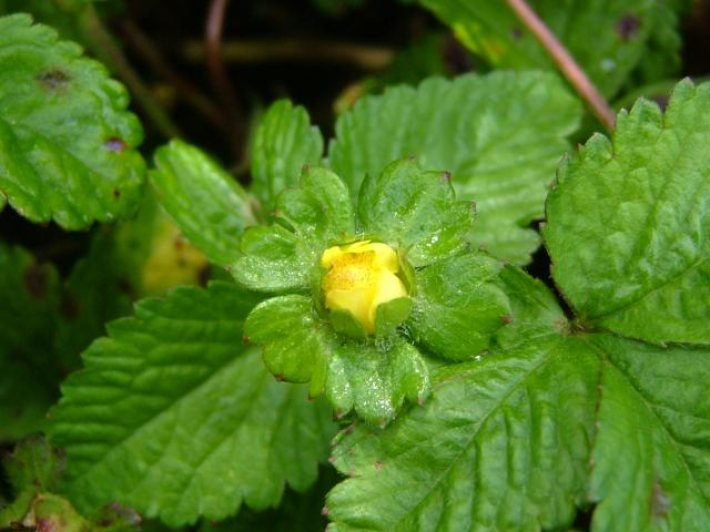 Duchesnea indicaYellow Strawberry