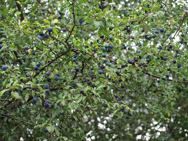blackthorn tree - photo #15