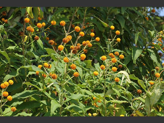 Buddleja globosa Orange ball tree Scrophulariaceae Images