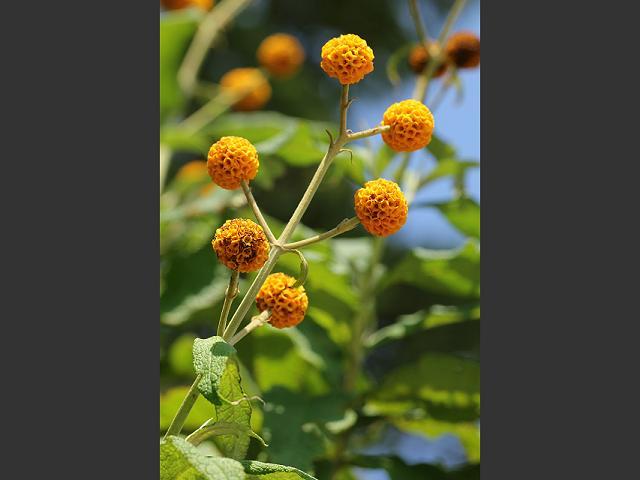 Orange Ball Flowers Flowers 3 · Orange Ball Tree