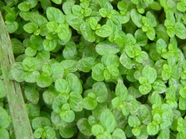 Slaapkamergeluk Plant : Soleirolia Soleirolii Mind Your Own Business